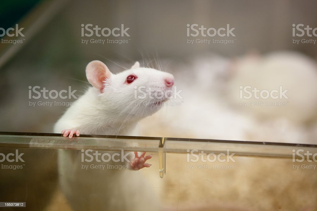 laboratory rat with red eyes looks out of plastic cage royalty-free stock photo