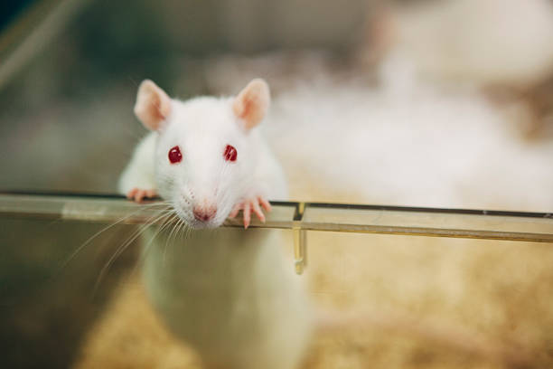 laboratory rat with red eyes looks out of plastic cage Medical Research: albino rat for animal experiments animal testing stock pictures, royalty-free photos & images