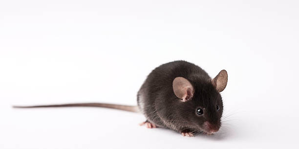 Laboratory research mouse on light background stock photo