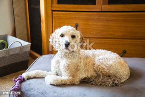 A cute Labradoodle dog on its bed.