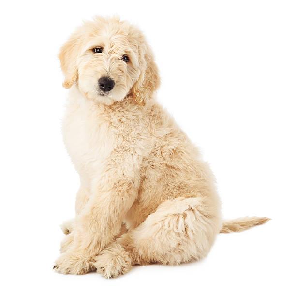 labradoodle puppy on a white background - animal doodle bildbanksfoton och bilder