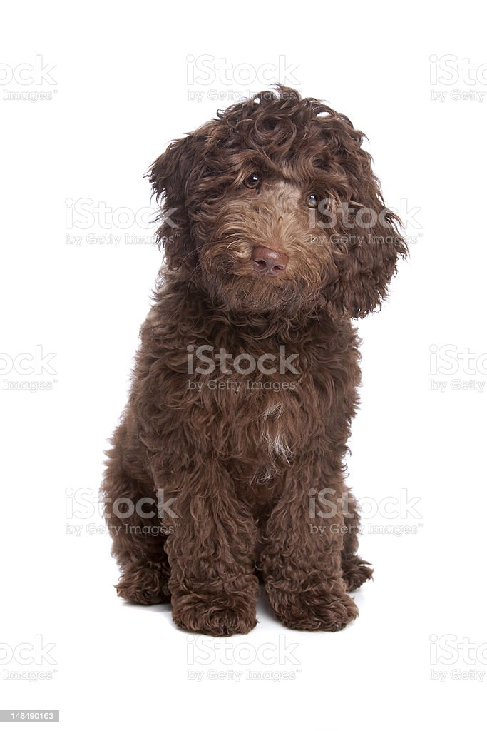 Labradoodle puppy Labradoodle puppy on a white background Animal Stock Photo