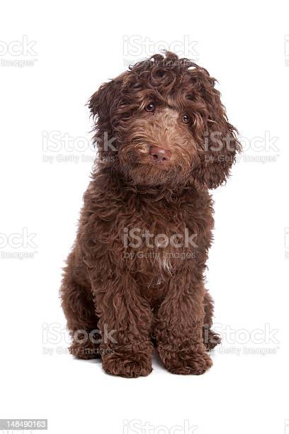 Labradoodle Puppy Stock Photo - Download Image Now