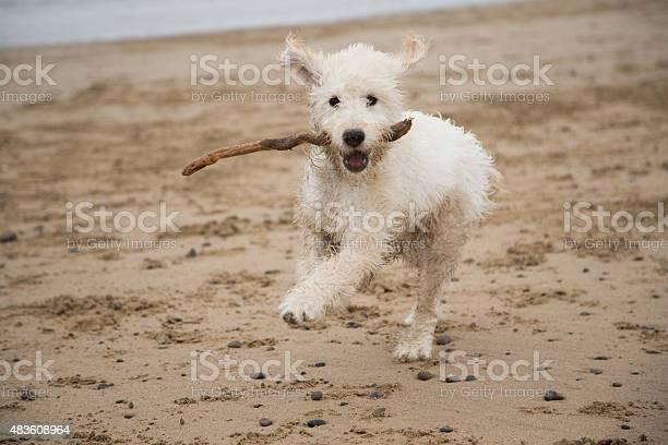 Labradoodle puppy with stick picture id483608964?b=1&k=6&m=483608964&s=612x612&h=htf3h bh6ehy7iwe36acdf arc0kw7gp7wwg80wbcaq=