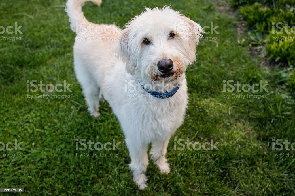 Labradoodle Stands and Looks at Camera stock photo