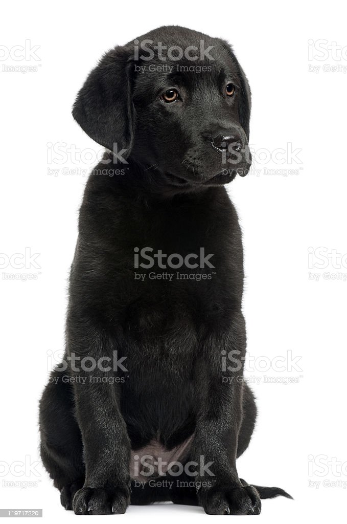 Labrador, 12 weeks old, sitting in front of white background stock photo