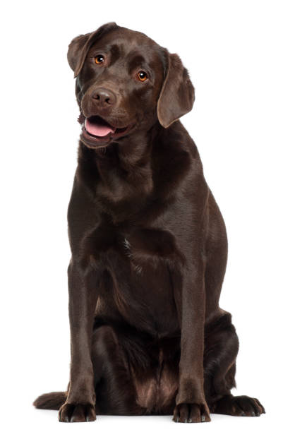 Labrador 2 years old sitting in front of white background picture id1068399422?b=1&k=6&m=1068399422&s=612x612&w=0&h=msltdspa7eypm1m7p402fjb6cw9yf08rbljsacxsdxy=