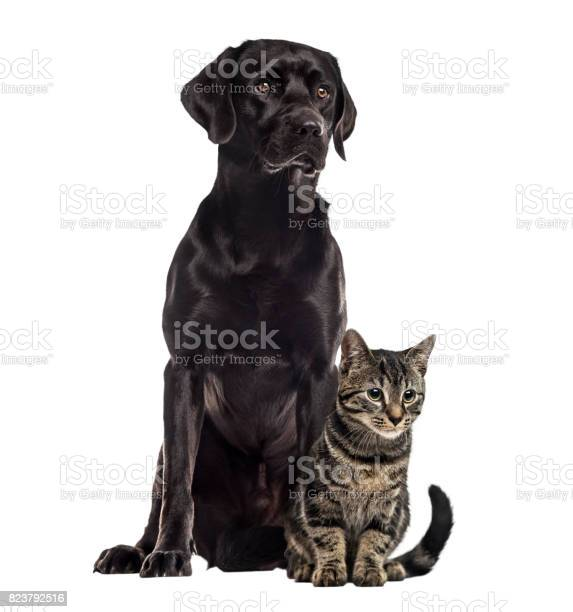 Labrador and european cat sitting isolated on white picture id823792516?b=1&k=6&m=823792516&s=612x612&h=smc55ked7hkira3hxbbykf7f6khyes60gldxcdbtrva=