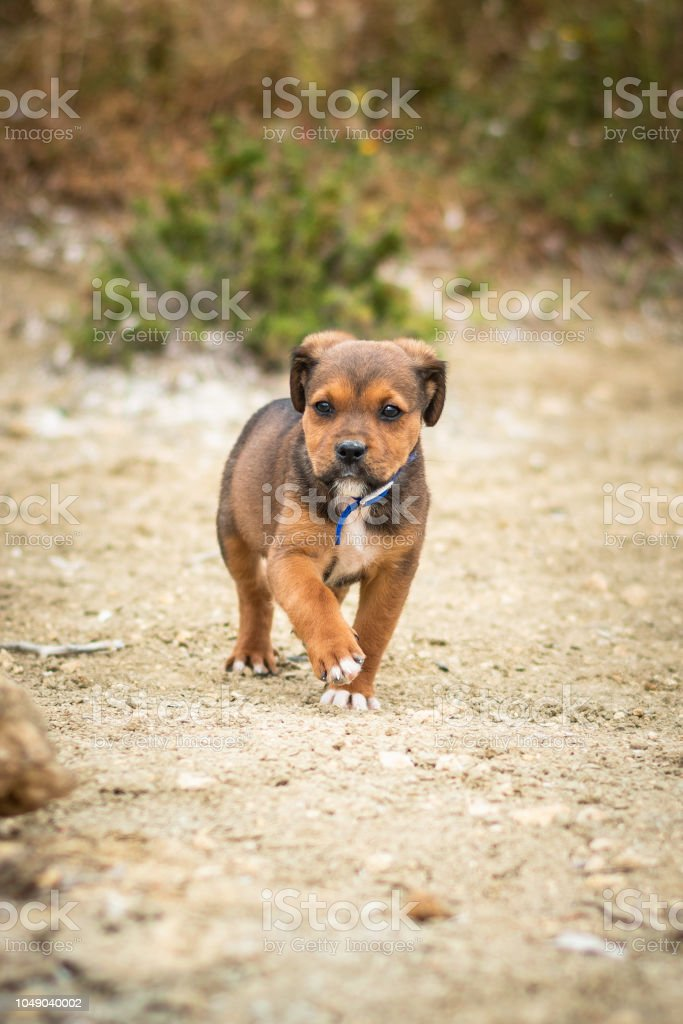 Labrador And Rotwailer Mix Breed Puppy Dog Brown And Black Colour Walking Free With A Blue Collar On The Beach Stock Photo Download Image Now Istock
