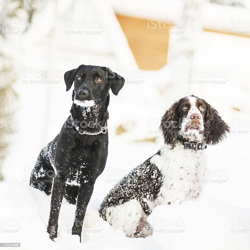 Labrador and Springespaniel in snow royalty-free stock photo