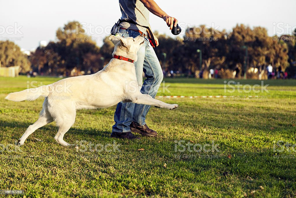 Labrador and Trainer with Dog Chew Toy at Park stock photo