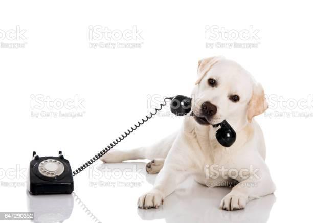 Labrador answering a call picture id647290352?b=1&k=6&m=647290352&s=612x612&h=rm9yuotfmdlnr7h5 xkgabtyyza6mp272ovdbtknejc=