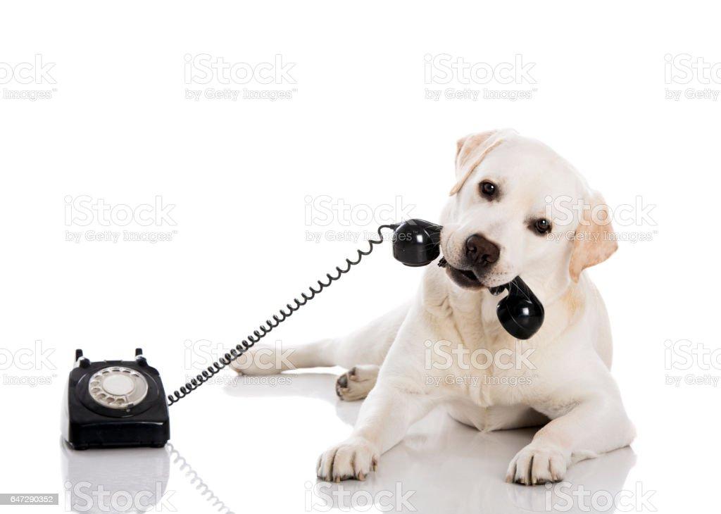 Entgegennehmen eines Anrufs Labrador – Foto