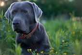 Labrador at Sunset in the Spring