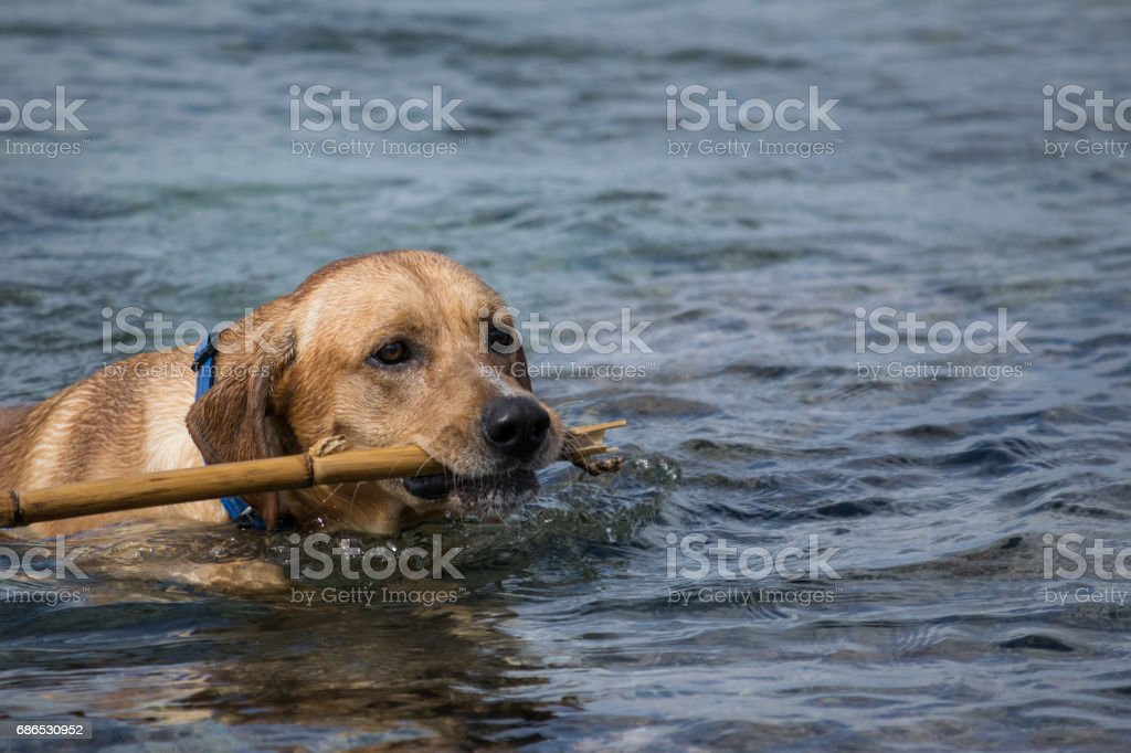 Labrador brings back the stick from the sea foto de stock libre de derechos