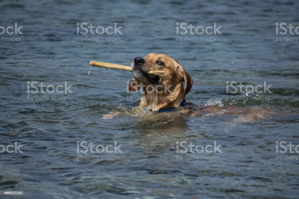 Labrador brings back the stick from the water foto de stock libre de derechos