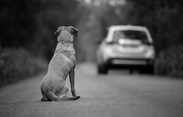 labrador dog abandoned on the road, in the background leaving the car - dilapidated stock pictures, royalty-free photos & images