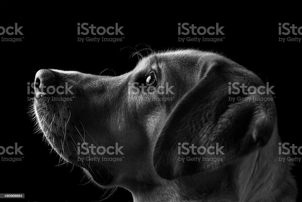Labrador Dog, Black and White stock photo