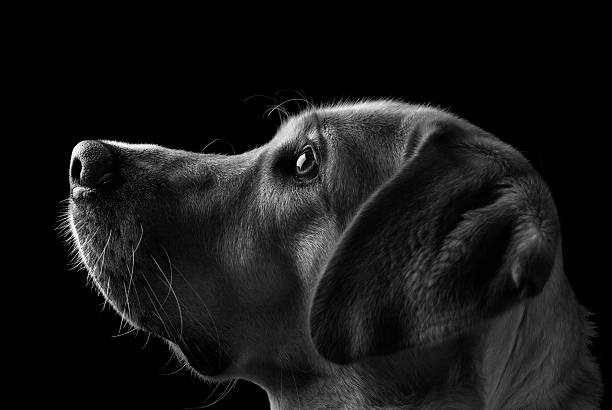 Labrador Dog, Black and White A portrait of a labrador  dog in low key. The best friend, and the best intelligent dog. fine art portrait stock pictures, royalty-free photos & images