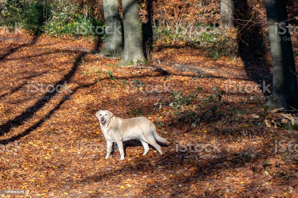 labrador dog enjoys the walk in the autumn colored forest with leaves...
