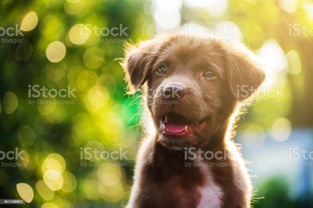 Labrador Hundekopf geschossen mit bokeh – Foto