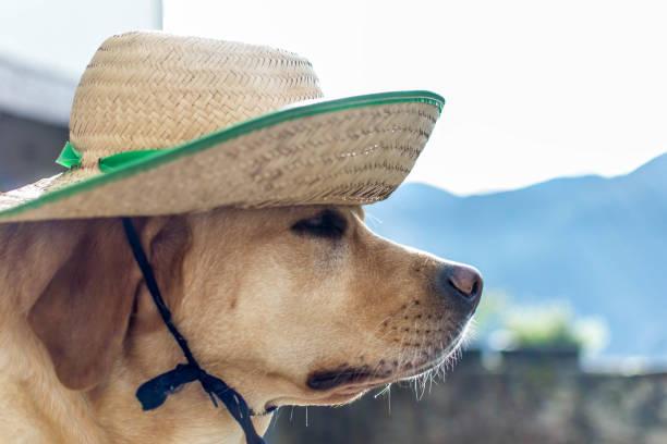 Labrador dog in straw hat