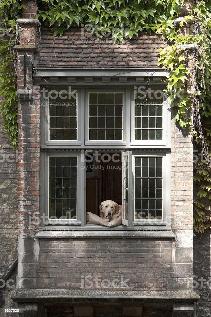 Labrador dog in window, Bruges, Belgium royalty-free stock photo