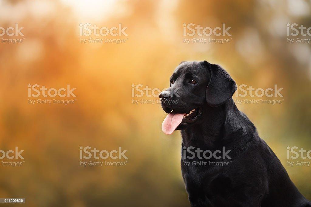 Labrador dog outdoors in autumn stock photo