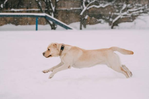 Labrador dog play run outdoor in snow winter season picture id1004952212?b=1&k=6&m=1004952212&s=612x612&w=0&h=uot8wxe2prj0i vzhfauf3egt 56jqfqioywzo8smf0=