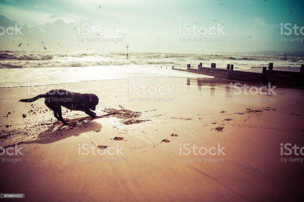 Labrador dog playing on beach stock photo