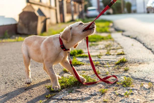 Labrador dog playing outdoors picture id1180921938?b=1&k=6&m=1180921938&s=612x612&w=0&h=2ad0ke5yxhv b9msekiawgregz6ojsygd57bnuzy12o=
