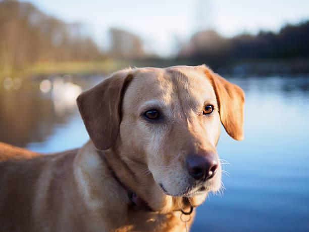 Labrador dog portrait. stock photo