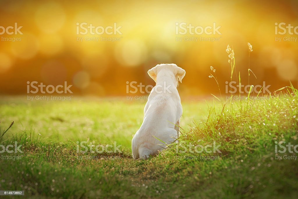 labrador dog puppy on meadow by sunset with cartoon look – Foto
