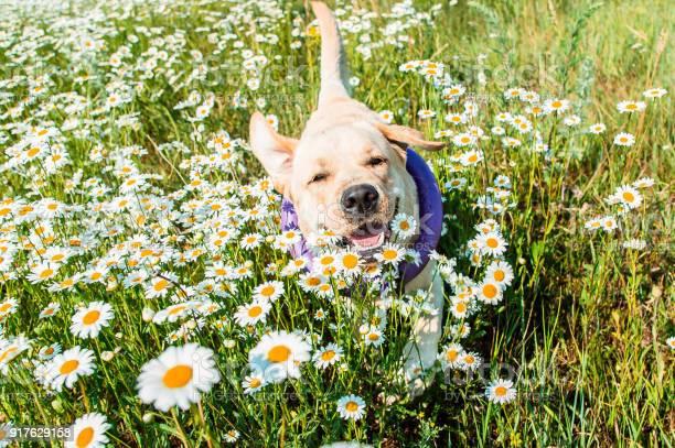 Labrador dog running in camomiles picture id917629158?b=1&k=6&m=917629158&s=612x612&h=zn zfhi36dneq7v7izankreck0kli cs pm4dzalcpm=