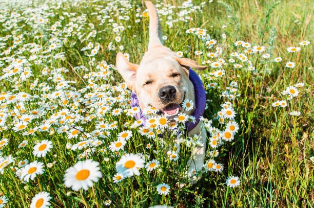Labrador dog running in camomiles picture id917629158?b=1&k=6&m=917629158&s=612x612&w=0&h=qlaiuu6usunayimh9pavsuqjkub8pyn5k4jpelpgzy4=