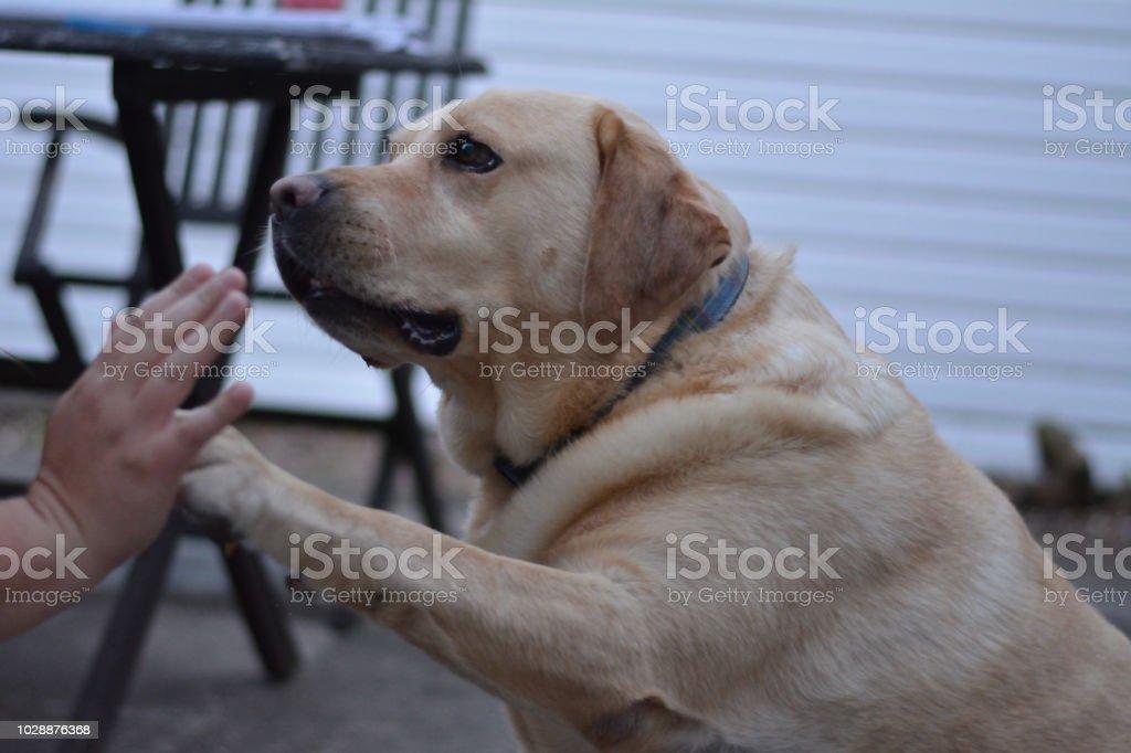 Labrador dog Sam giving his owner an high five stock photo