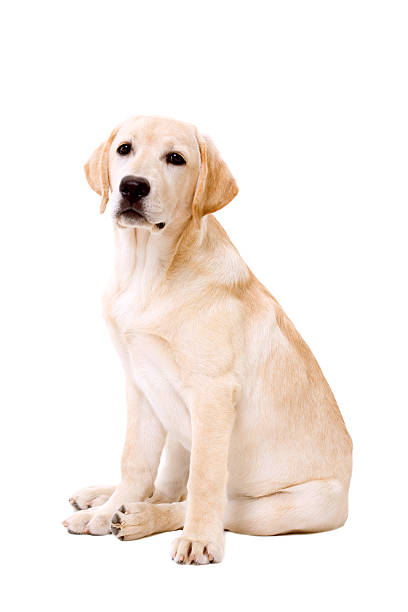 Labrador dog sitting on white background picture id186869569?b=1&k=6&m=186869569&s=612x612&w=0&h=ionvhst8au4qimaqxrqo6uju56okd75og0qghaci5dk=