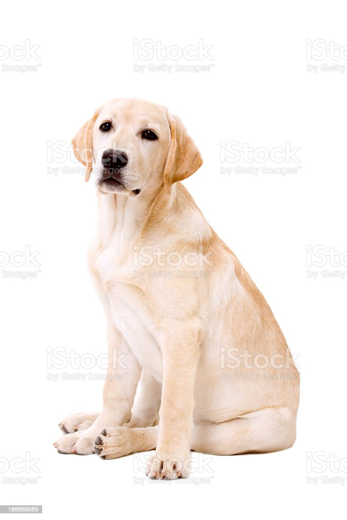 Labrador dog sitting on white background stock photo