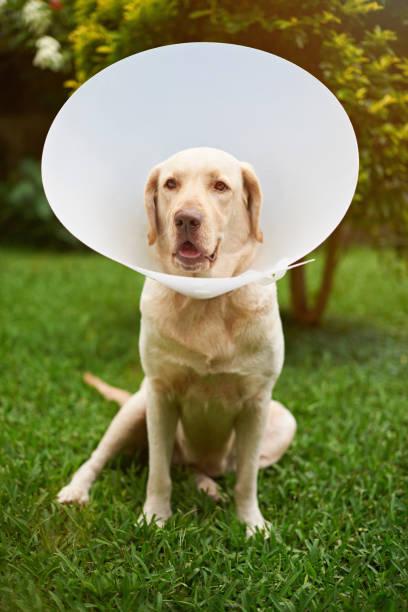 Labrador dog vet patient stock photo