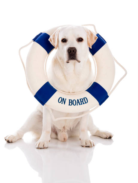 Labrador dog with a sailor buoy picture id647290344?b=1&k=6&m=647290344&s=612x612&w=0&h=icvmv9druszwxe9w pxjrhdu74bh38dev8t9iso6fvg=