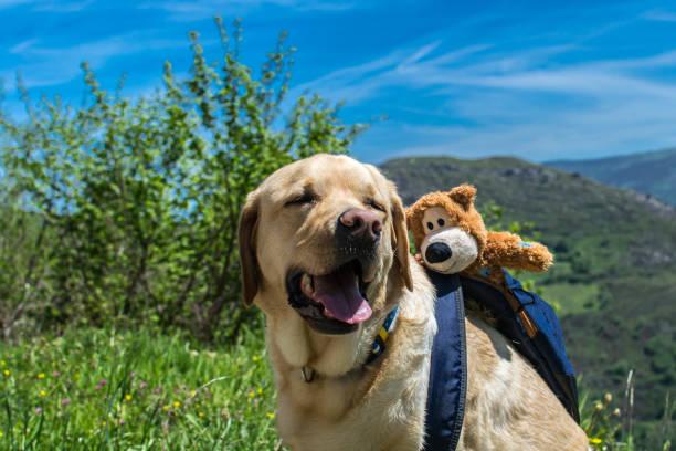 Labrador Dog with backpack