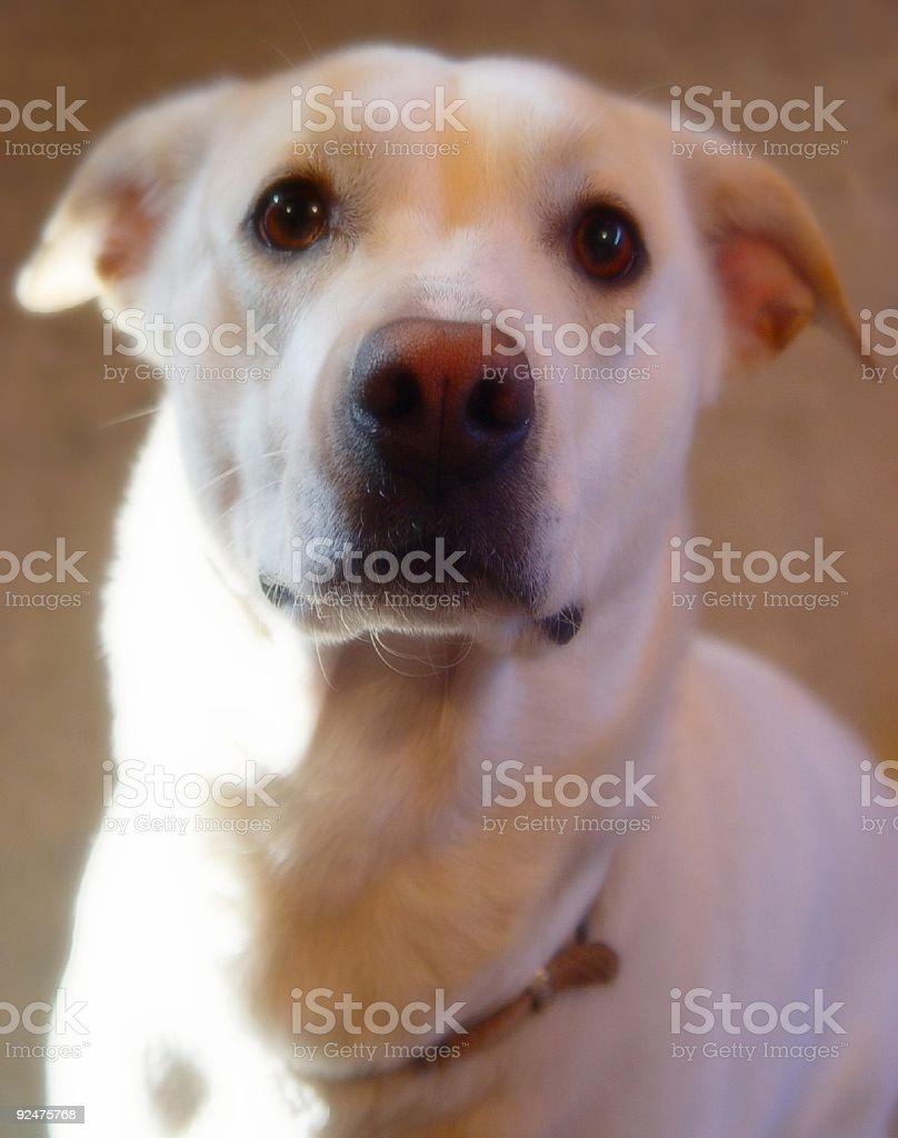 labrador golden retriever mix dog royalty-free stock photo