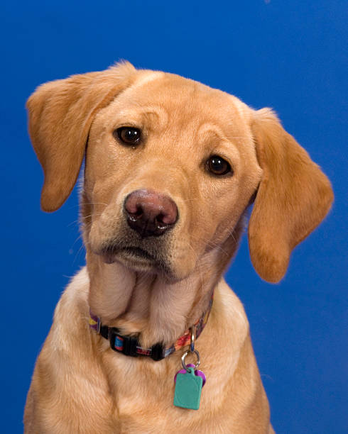 Labrador, head tilted, sad, curious stock photo