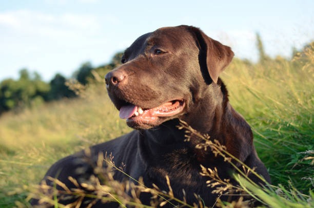 labrador in a grass at sunset stock photo