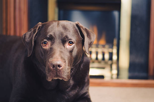 Labrador in front of fireplace stock photo
