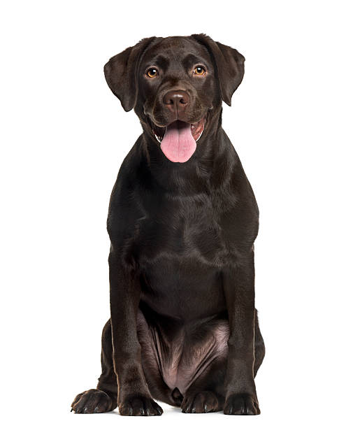 Labrador in front of white background Labrador in front of white background retriever stock pictures, royalty-free photos & images
