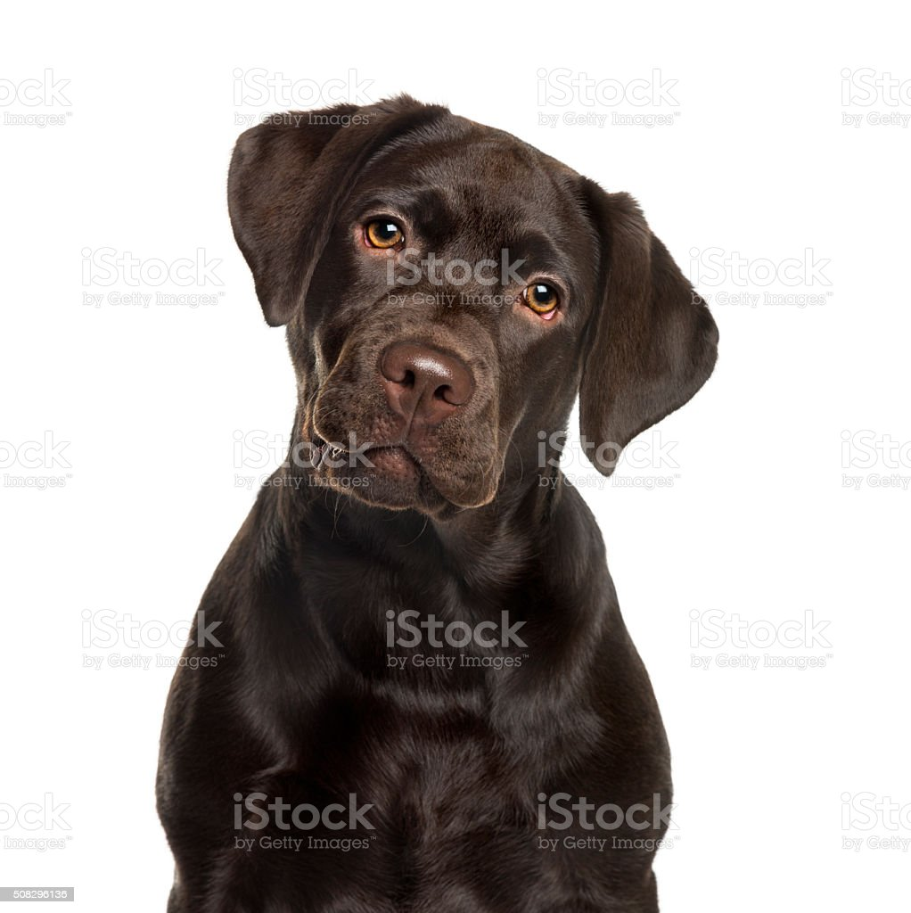 Labrador in front of white background stock photo