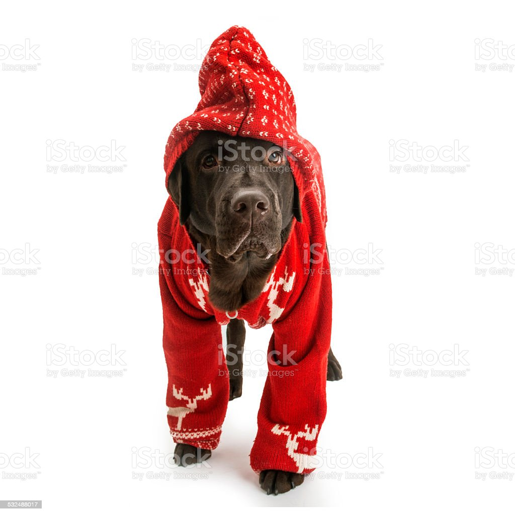 Labrador in red sweater stock photo