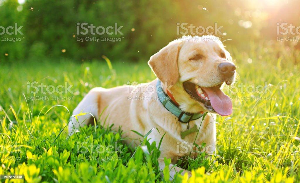 Labrador in de natuur. - Royalty-free Buitenopname Stockfoto
