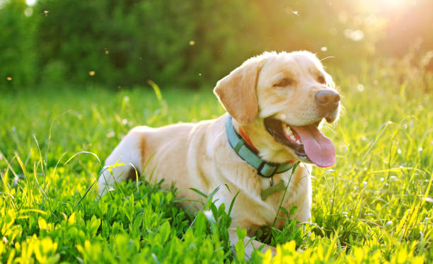 labrador in the nature. - mosquito stock photos and pictures